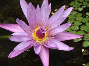 Lotus Flower photo taken at GSS College Garden( Belgaum, Karnataka , India),5 October 2006,Nivedita Patil, Wikimedia Commons