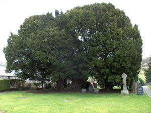 The Llangernyw yew tree, Llangernyw, Conwy, Wales, source: wikimedia commons,  Cet arbre est un tout jeune if qui n'a QUE 4000 ans!
